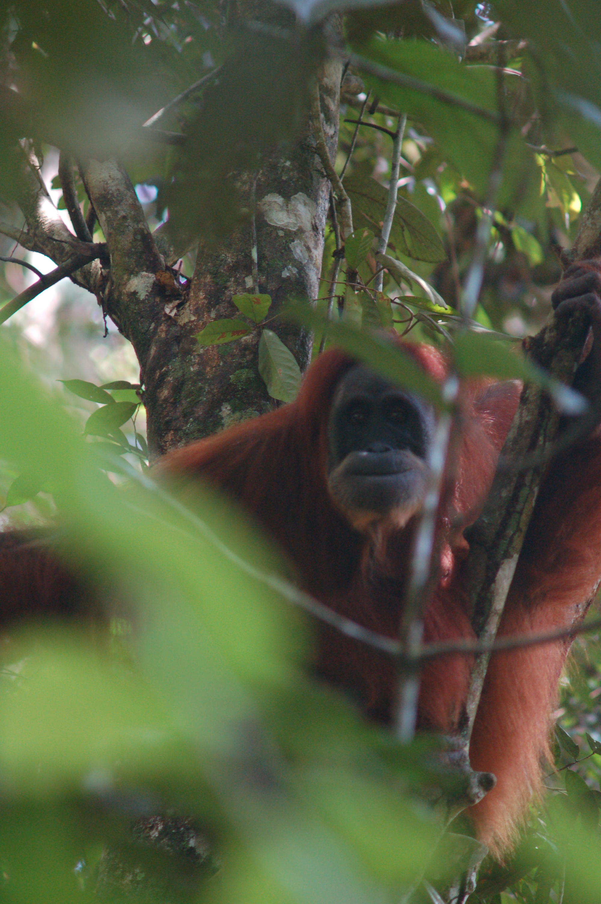 Gunung Leuser National Park, a natural wonder and house of the Sumatran orangutans!