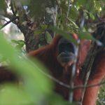 Orangutan in Sumatra by Cedric Hellemans