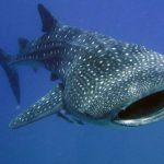 whale shark by B. Tanis