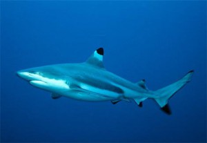 Sharks Species –  Record-holder underwater creatures