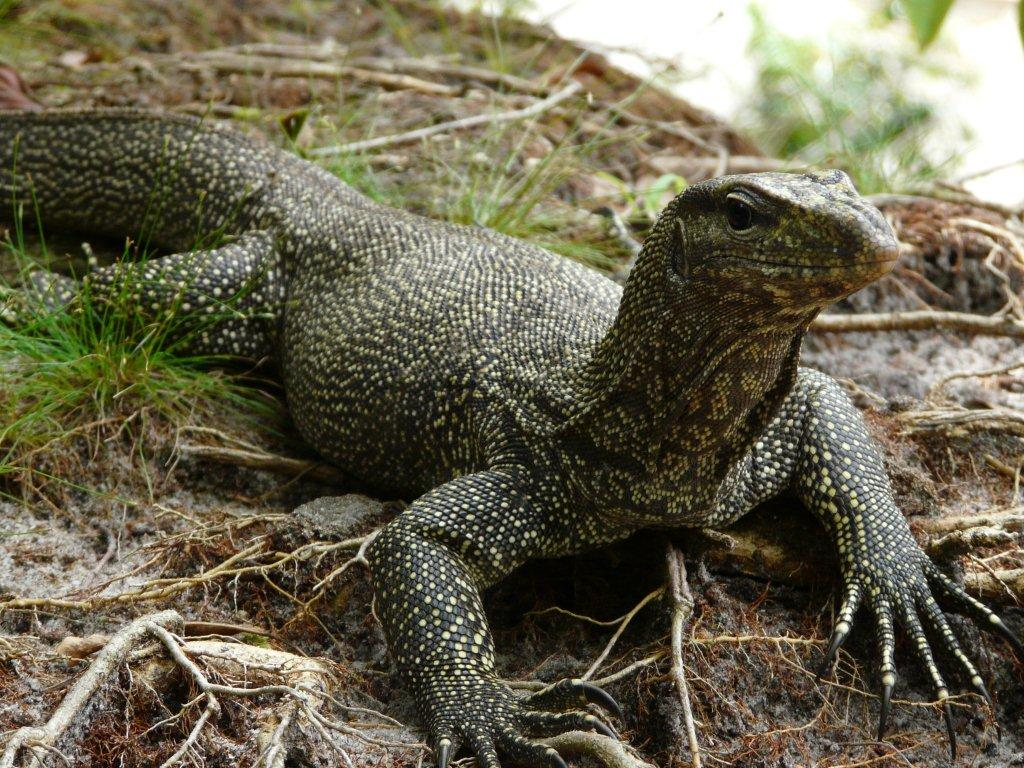 Monitor Lizards – harmless dragons and smart hunters