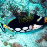 Reef Life - clown triggerfish - B. Tanis