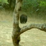 Sloth bear in Wilpattu National Park Sri Lanka